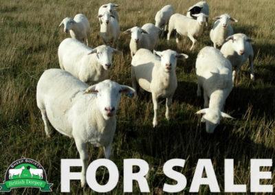FOR SALE: Brickhill Flock has for sale 12 registered females