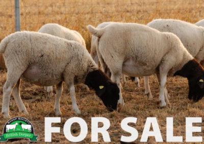 FOR SALE: Dorper Pedigree Livestock