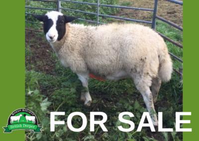 FOR SALE: Registered Dorper ewe lamb