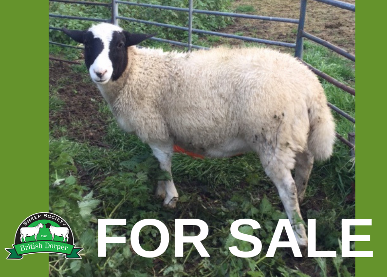FOR SALE: Registered Dorper ewe lamb