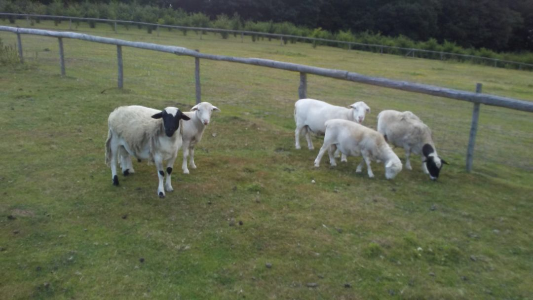 White & Black Dorper Rams – For Sale