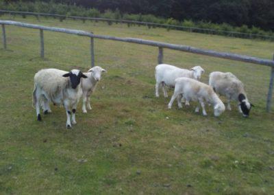 White & Black Dorper Rams – For Sale