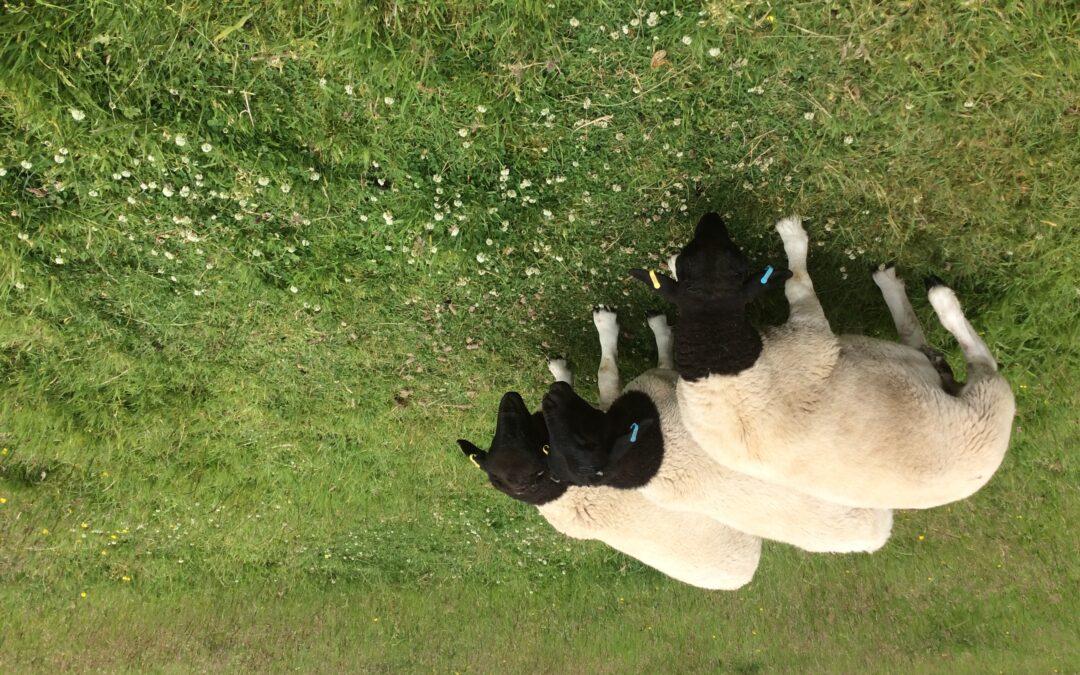 Dorper Ram Lambs